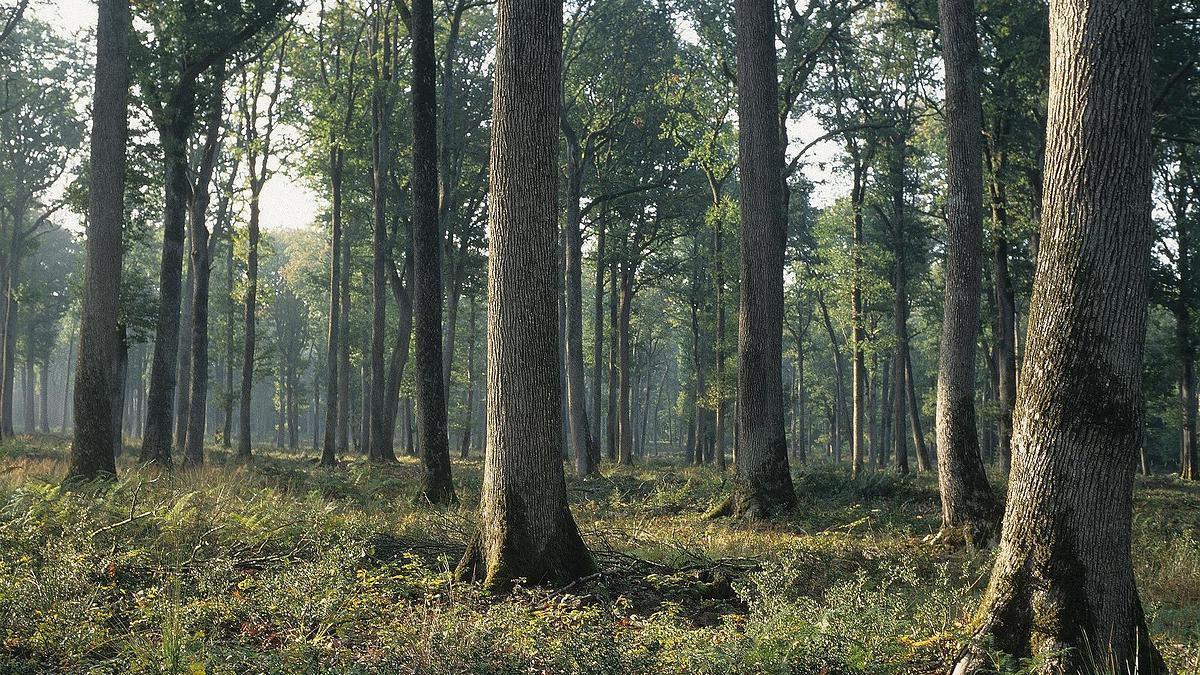 Forêt domaniale de Tronçais (Allier)