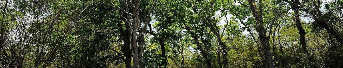 Forêt de mahogany, Nord Grande Terre