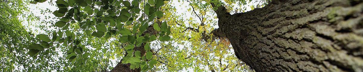 Une chênaie majestueuse en forêt d'Orléans (Loiret)