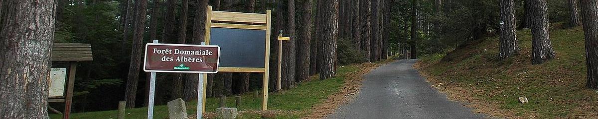 Futaie de pins laricio