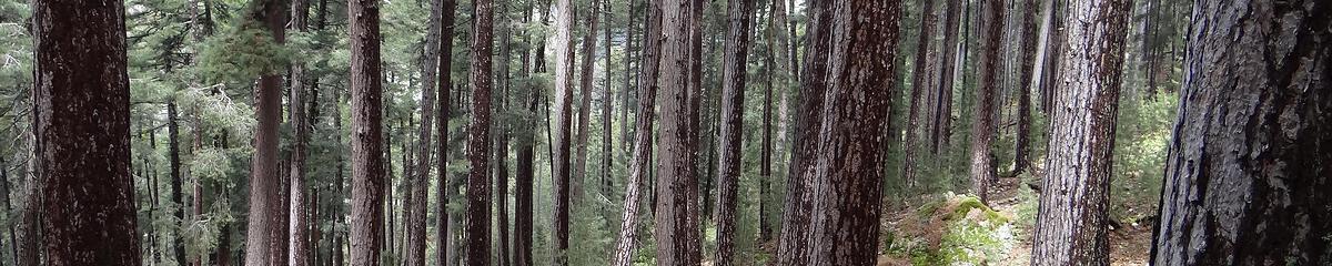 Forêt de pins laricio